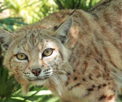 tiger lilly_bobcat
