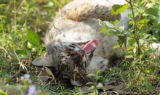 bailey-bobcat