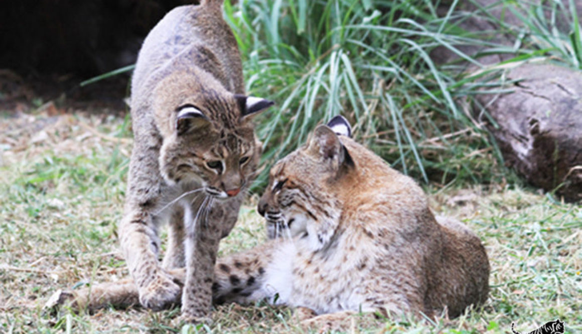 bailey moses bobcats