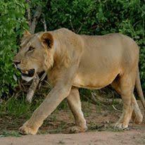 lion project 2016