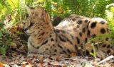 Nala Serval