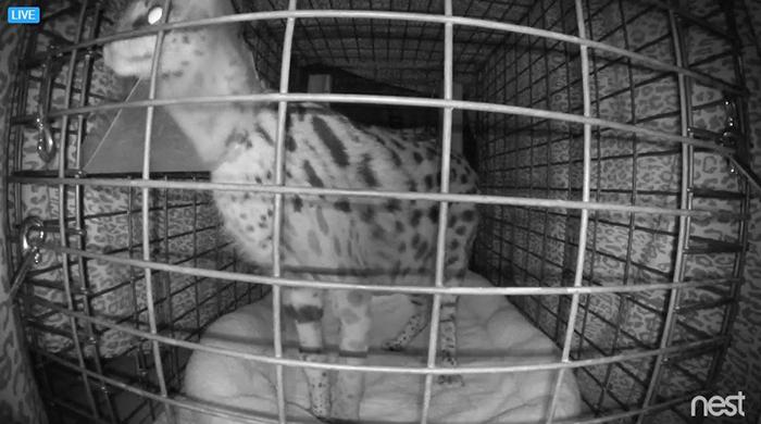 nala serval morning after surgery