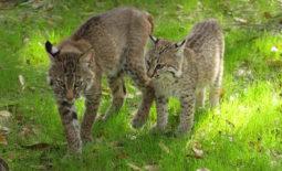 rehab-bobcat-kittens