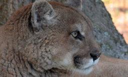 sassyfras-cougar