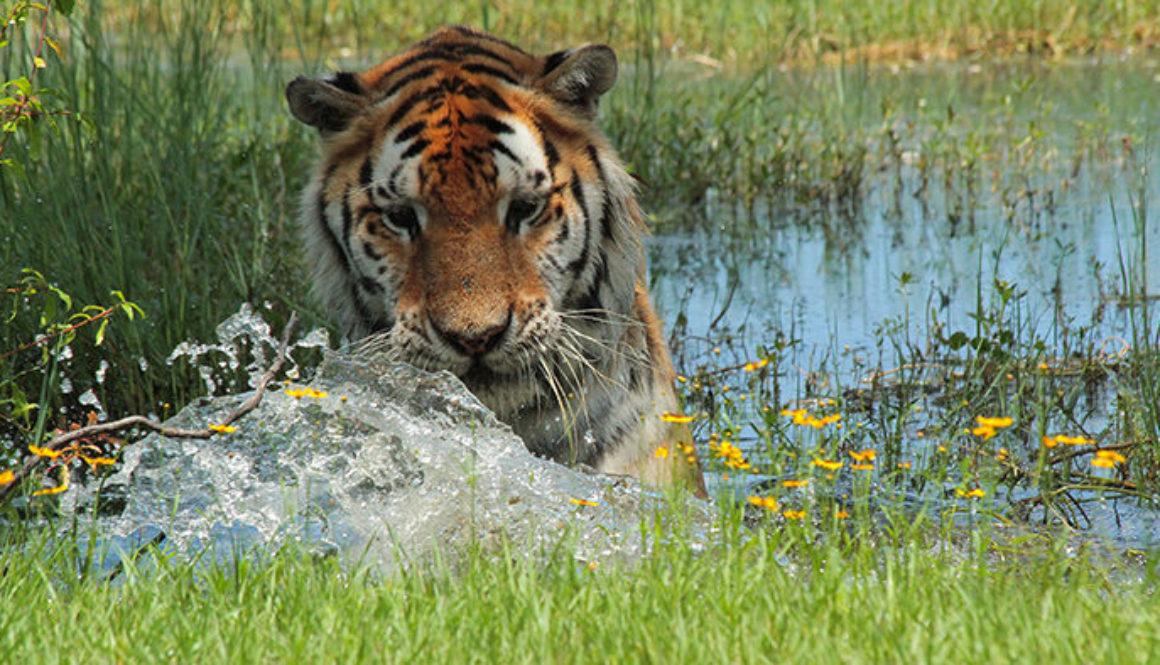 TJ Tiger at Big Cat Rescue