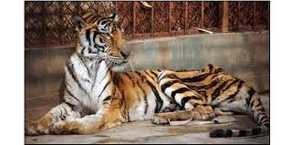 tiger farming 2016