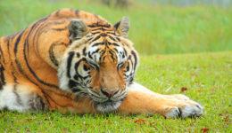 Zeus Tiger at Big Cat Rescue