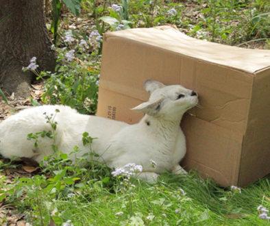 box pharaoh white serval
