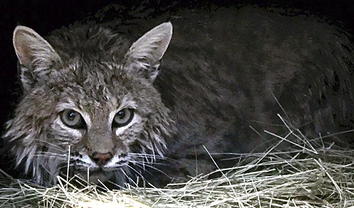 Dryden-Kewlona-Bobcat