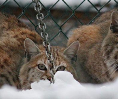 dryden-kewlona-as-kittens
