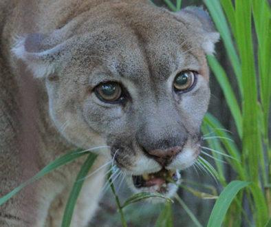 josie-cougar-day 1 scared
