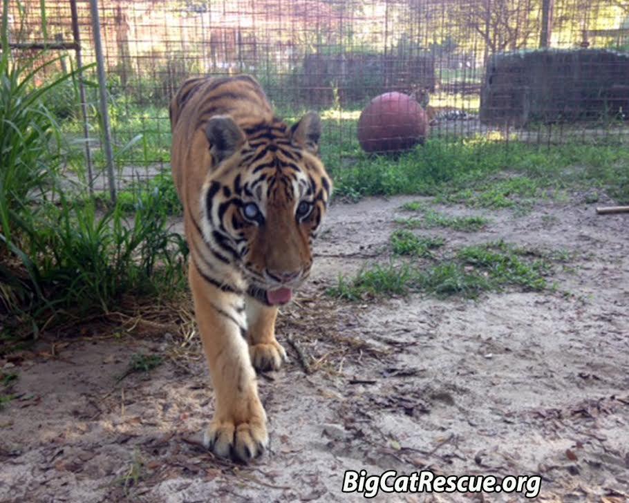 keeper zeus tiger