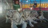mexico-circus-tigers