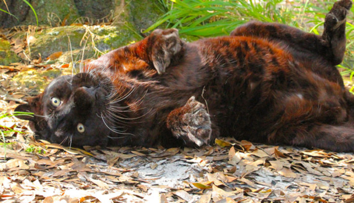 sabre-leopard-silly-rollover-soc