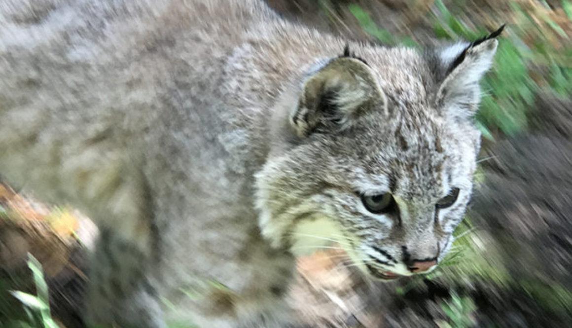 smalls-bobcat