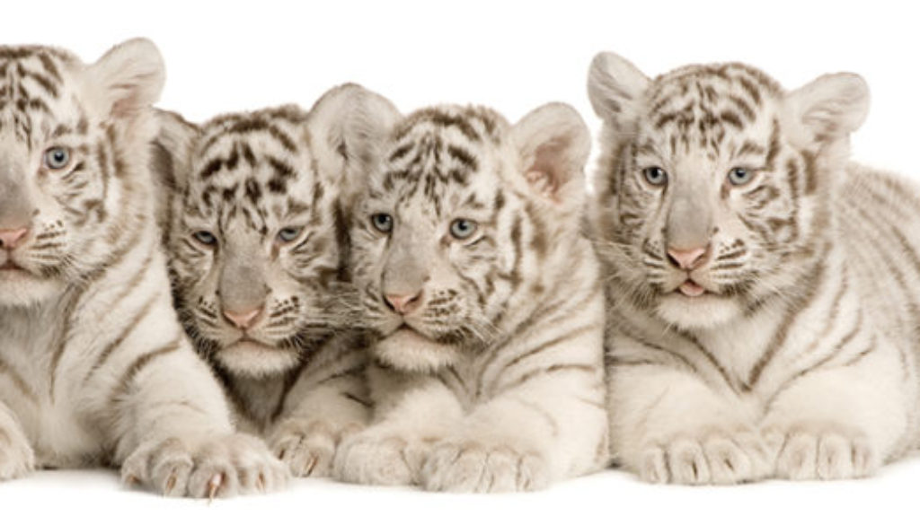 tripadvisor bans cub petting