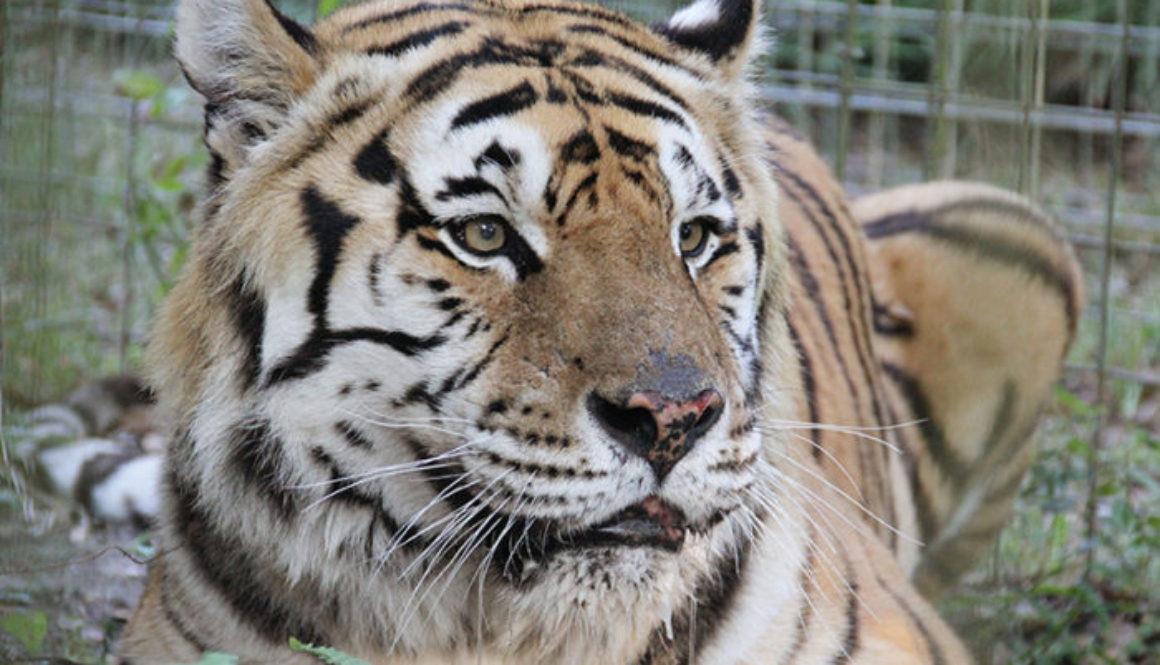 andy-tiger