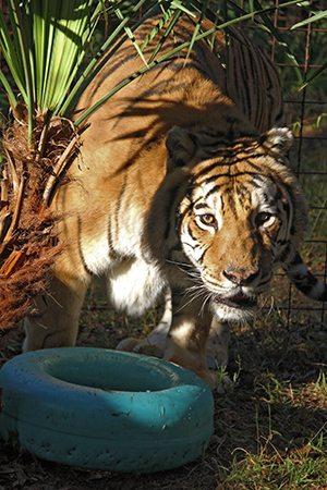 charaka-tiger