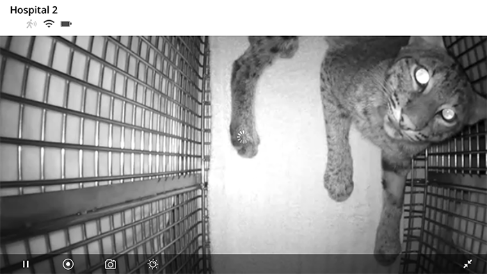 chief spotted eye bobcat rehab