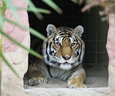 gabrielle-tiger