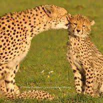 mara cheetah