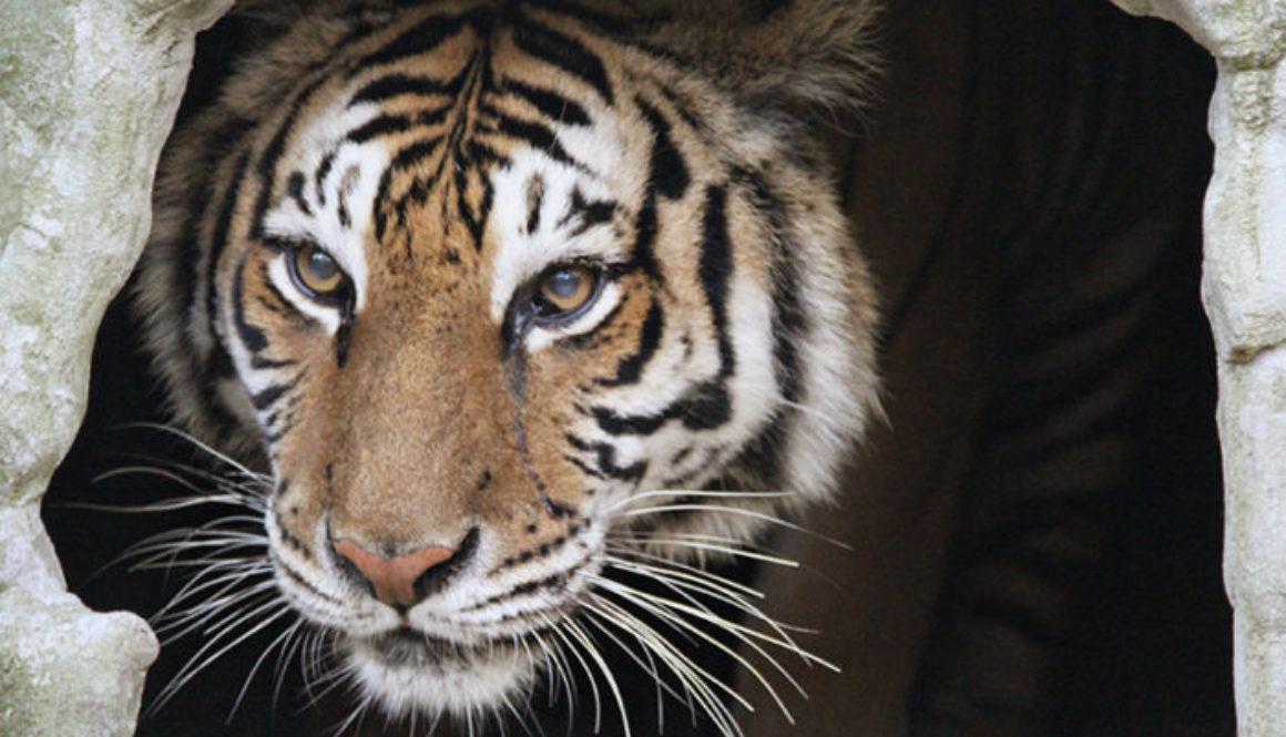 priya-tiger-day1