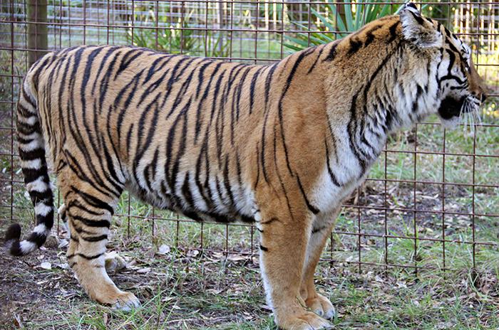 priya-tiger