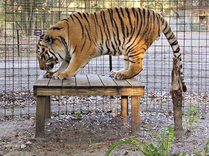 seth-tiger