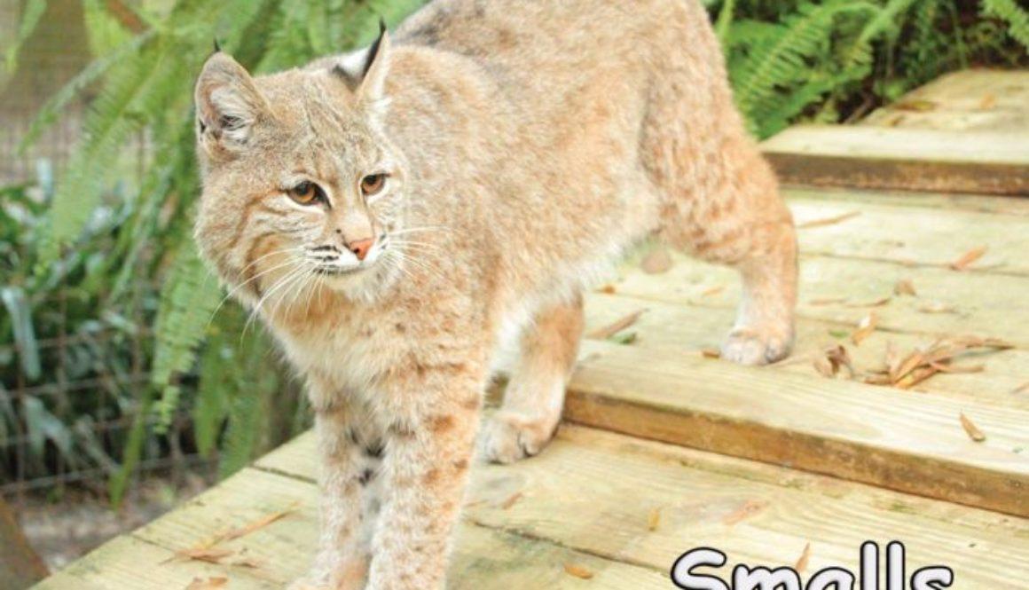 Smalls Bobcat