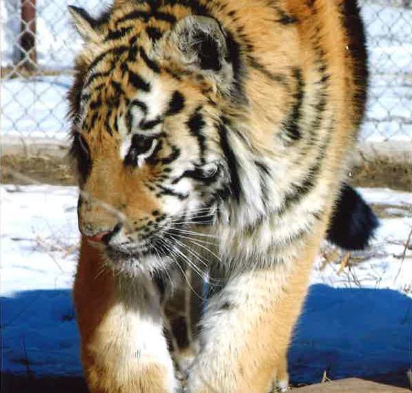 tigers 2006