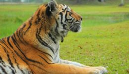 vote contest zeus tiger