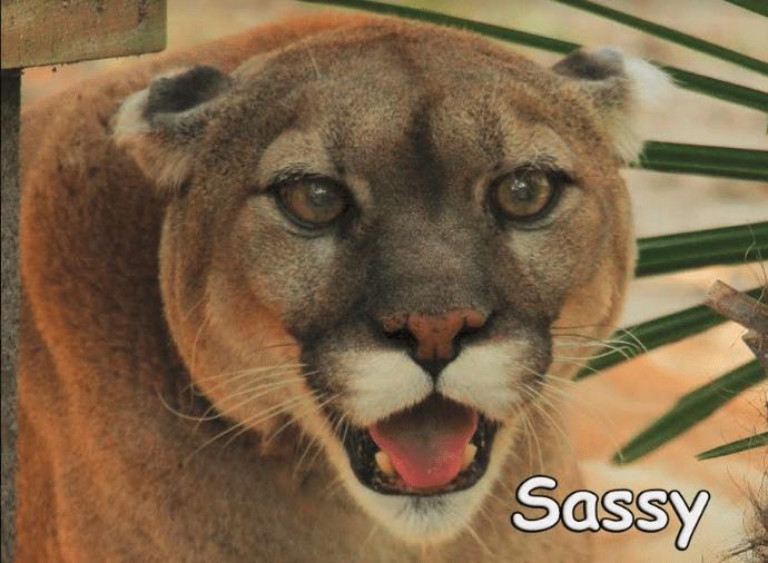 vote sassy cougar