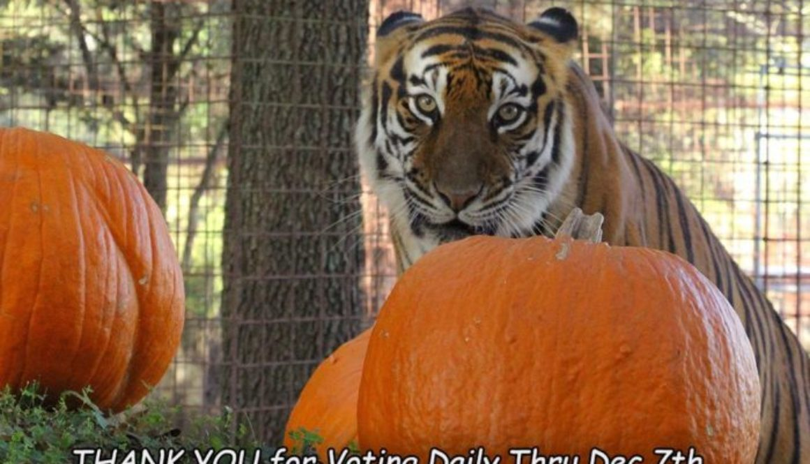 vote Amanda tiger pumpkin