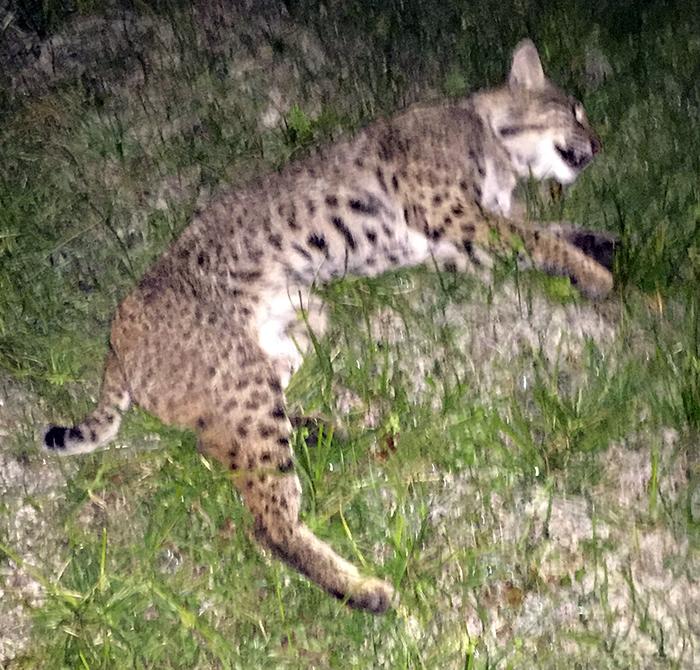 chief spotted eye bobcat rehab