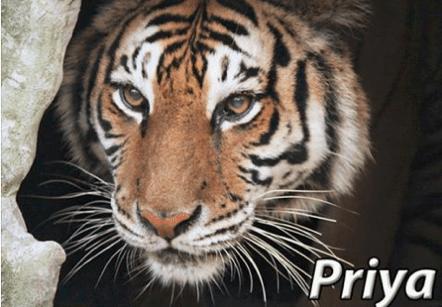 2016 priya tiger