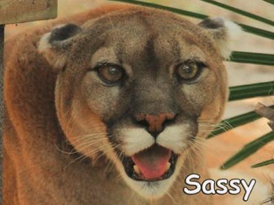 2016 sassy cougar