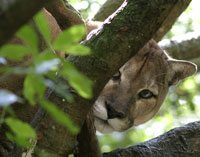 cougarsly_in_tree