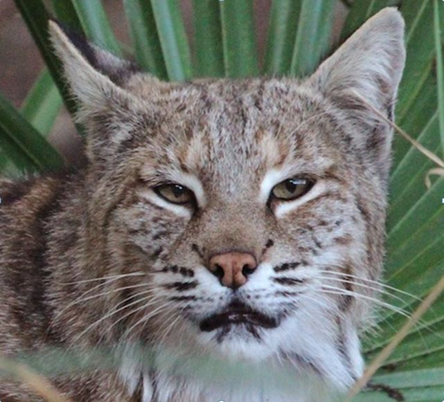 MaryAnn Bobcat