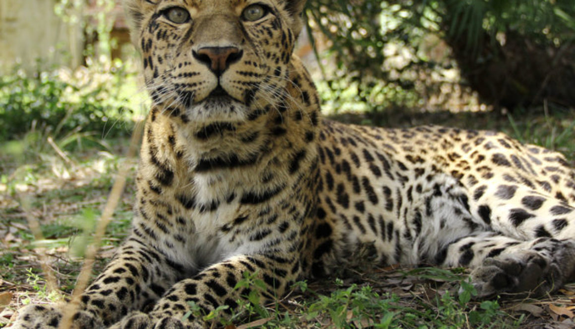 sundari-leopard