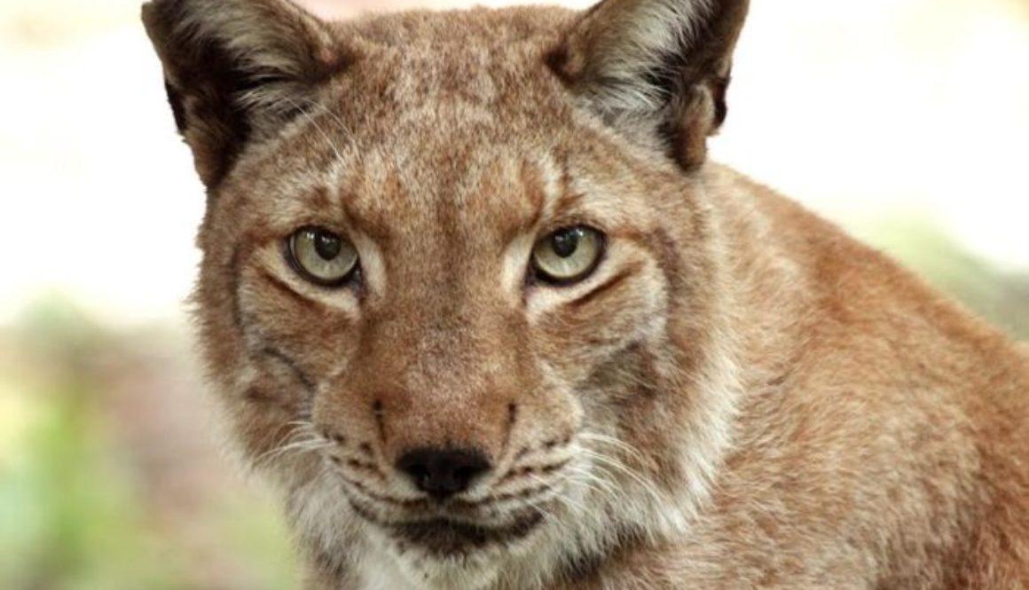 vote apollo lynx