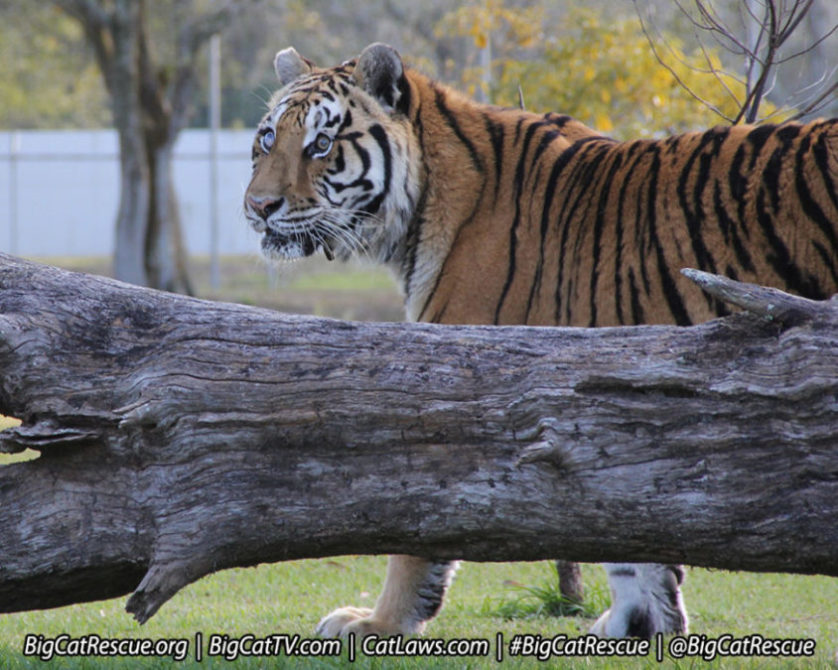 zeus-tiger