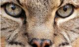 Apache Bobcat, bobcat photos, cat photo of the day