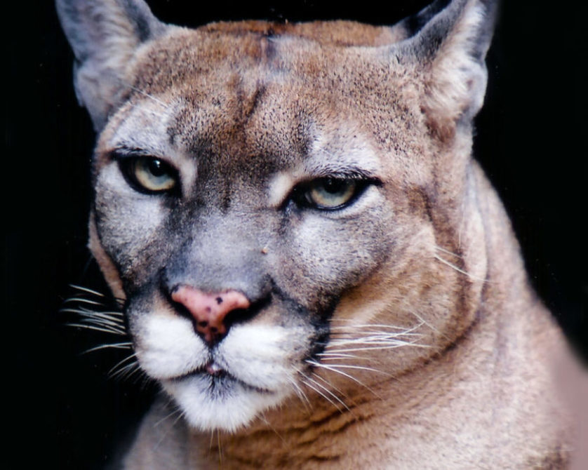 Florida Panther facts, Florida Panther photos, Florida Panther