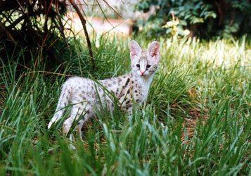 White Serval Kongo