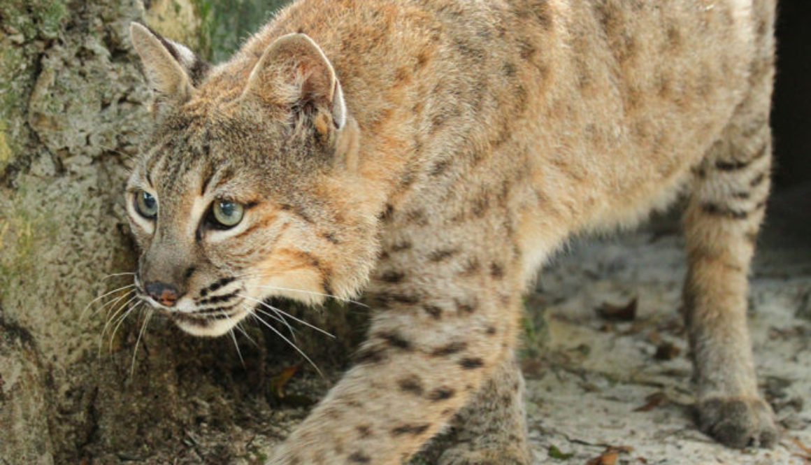 Big Cat Photos, bobcats, A bobcat named Running Bear