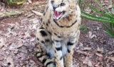 Sheena Serval - Funny Cat Photos