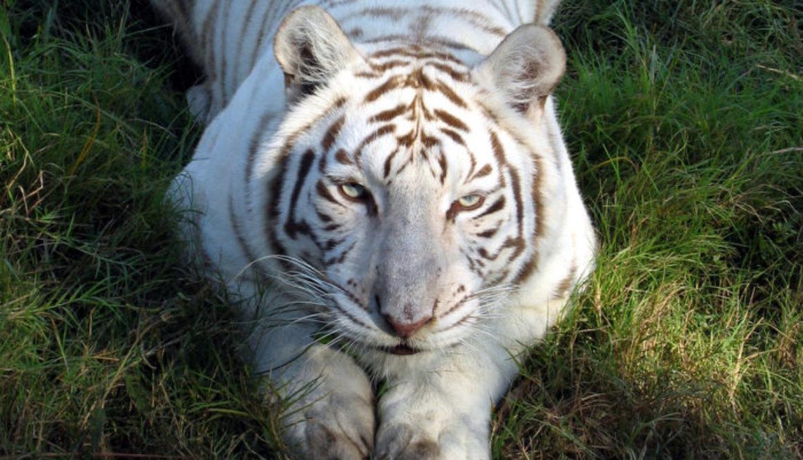Tigers-BCR-White-WhiteTigerZabuGrassPounce