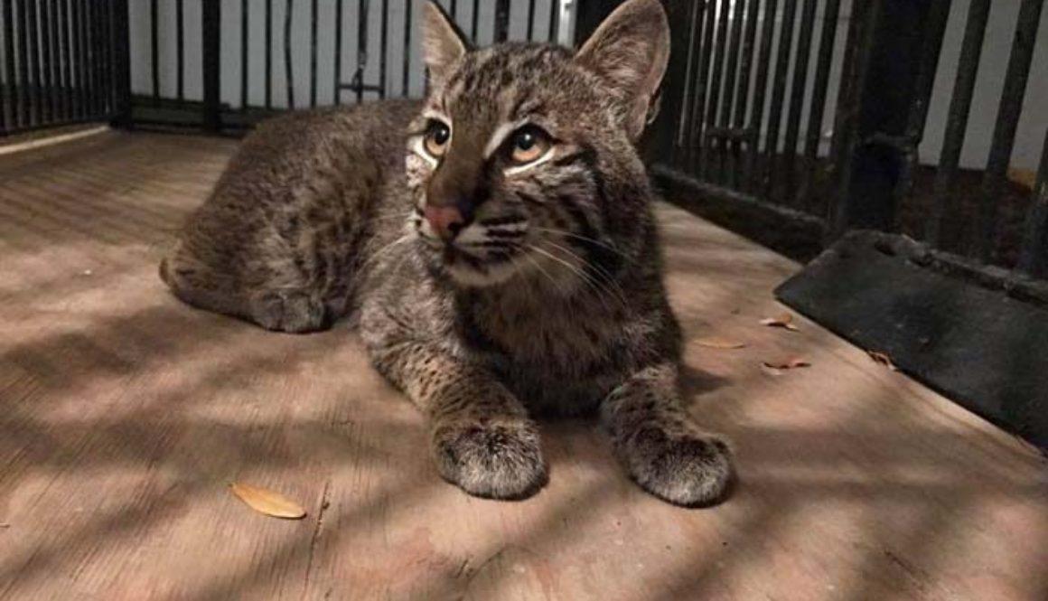 Wyeth Bobcat Rehab