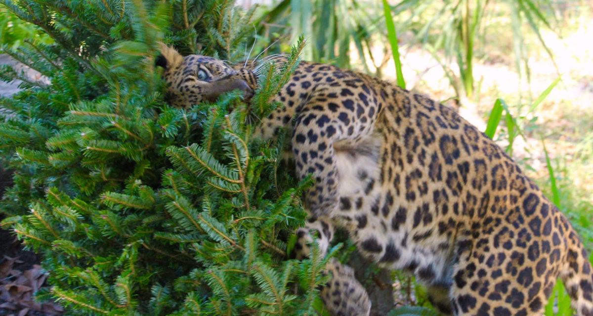 Armani Leopard loves enrichment time