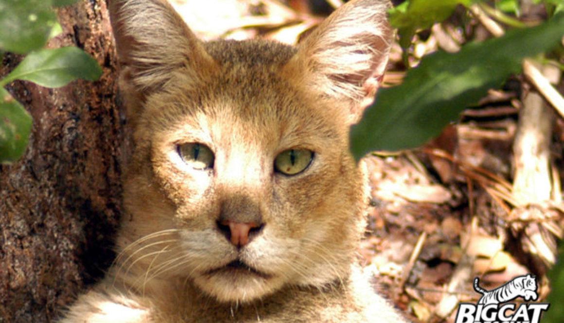 Tarzan Jungle Cat